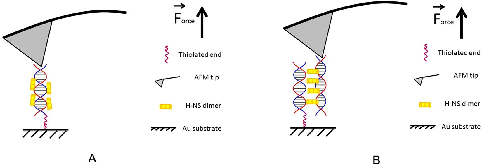Probing the mechanical stability of bridged dna h ns protein probing the mechanical stability of bridged dna h ns protein complexes by single molecule afm pulling scientific reports pooptronica