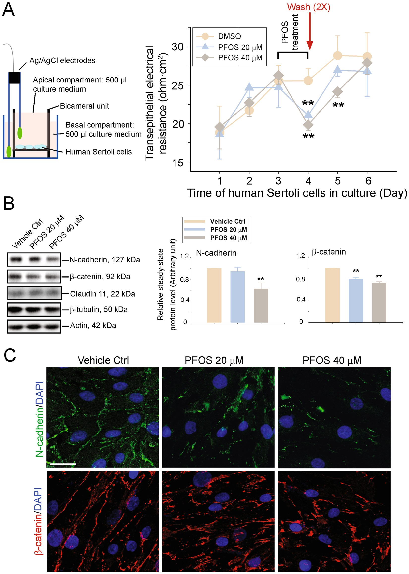 Rescue of PFOS-induced human Sertoli cell injury by overexpressing a  p-FAK-Y407E phosphomimetic mutant   Scientific Reports