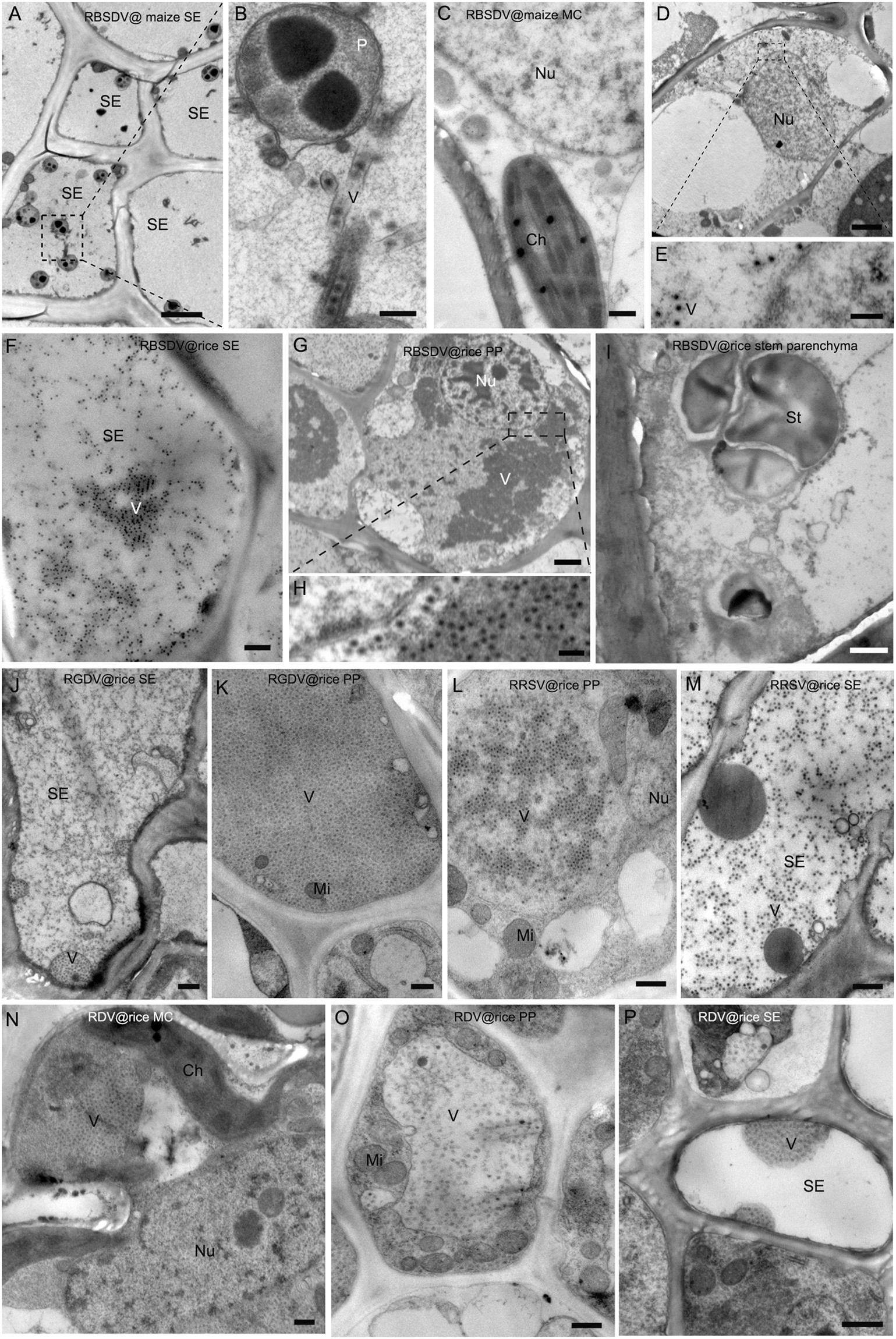 Phloem Limited Reoviruses Universally Induce Sieve Element