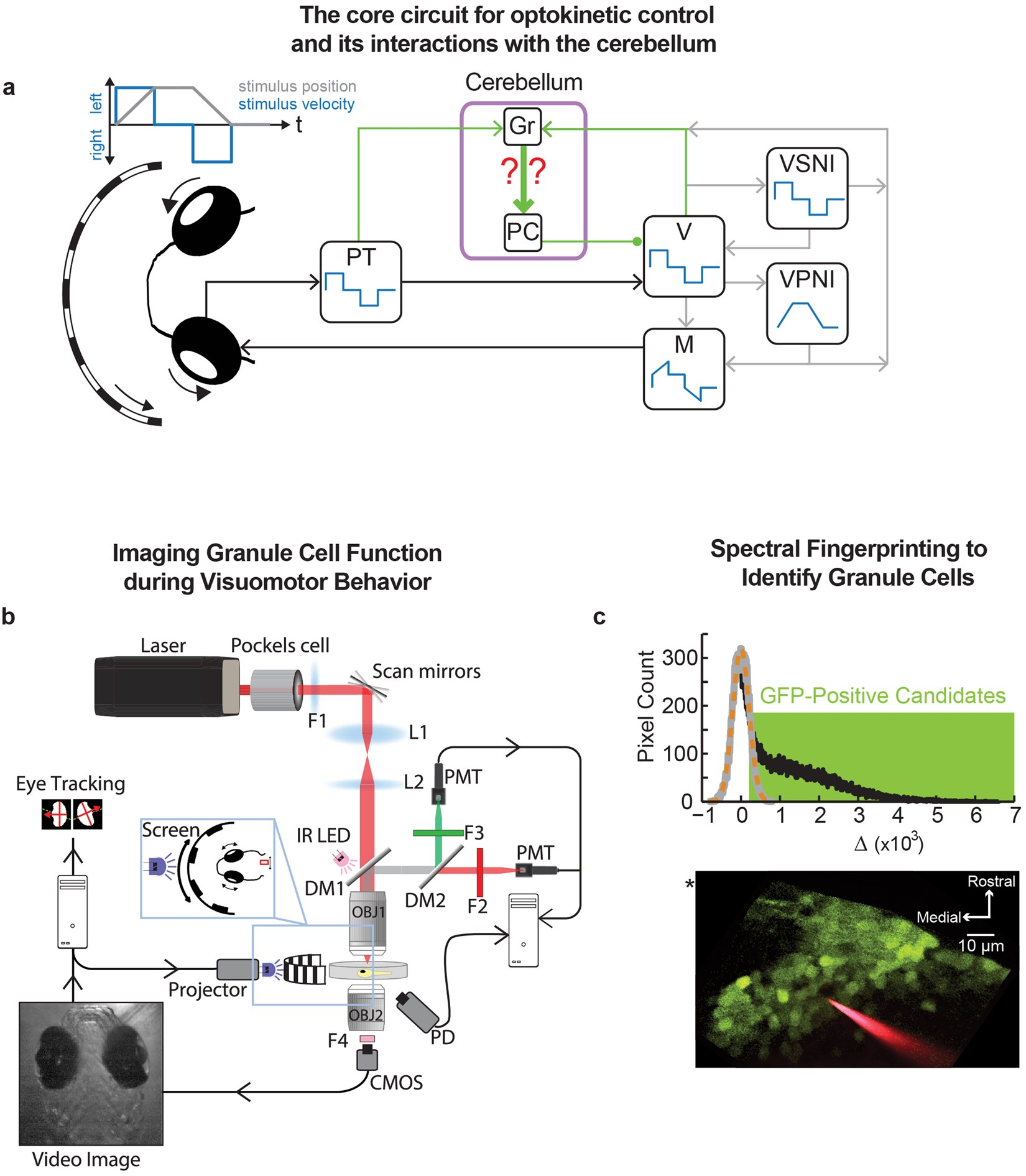 Population Scale Organization Of Cerebellar Granule Neuron Signaling Figure 2 Basic Structure The Neuronal Circuitry In Cerebellum During A Visuomotor Behavior Scientific Reports
