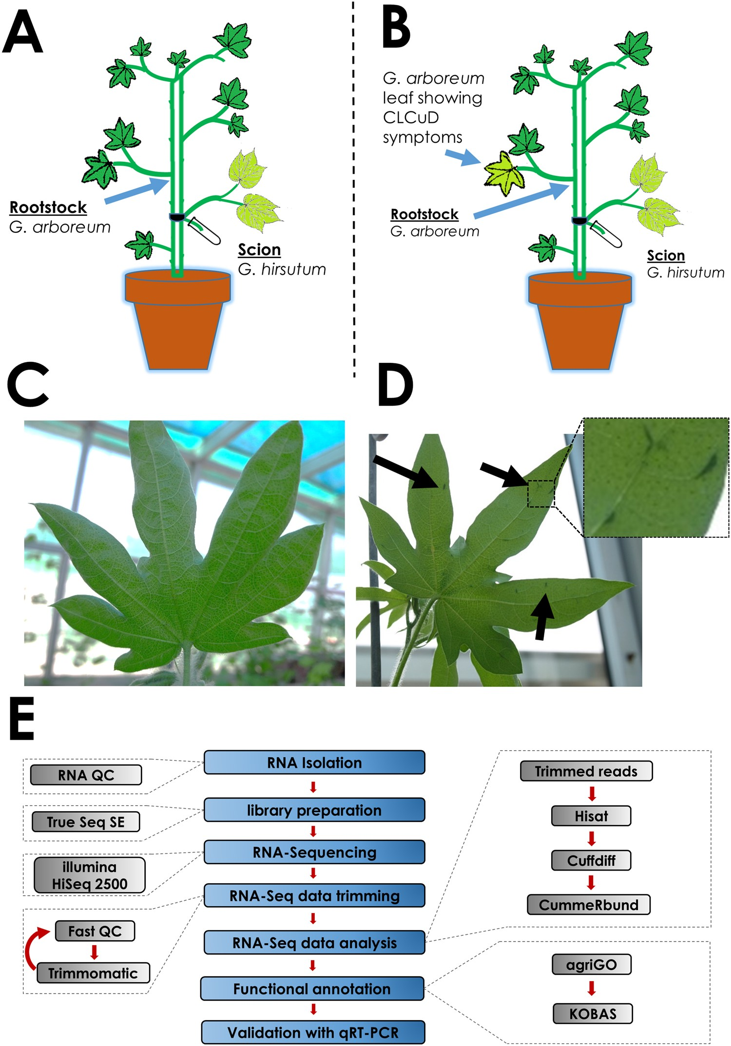 Transcriptomics Reveals Multiple Resistance Mechanisms Against Cotton Leaf Curl Disease In A Naturally Immune Species Gossypium Arboreum