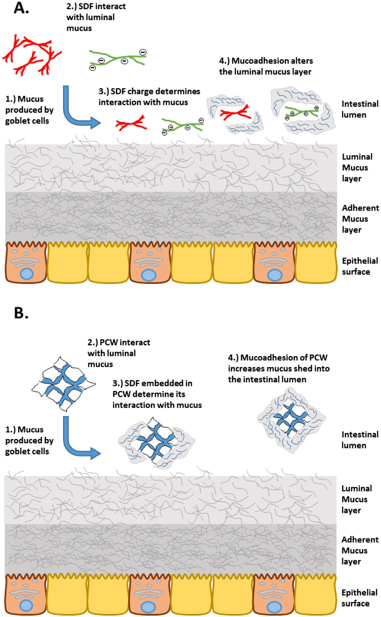 Mucoadhesive Functionality Of Cell Wall Structures From Fruits And Mam First Brush Yellow Grains Electrostatic Polymer Network Interactions Mediated By Soluble Dietary