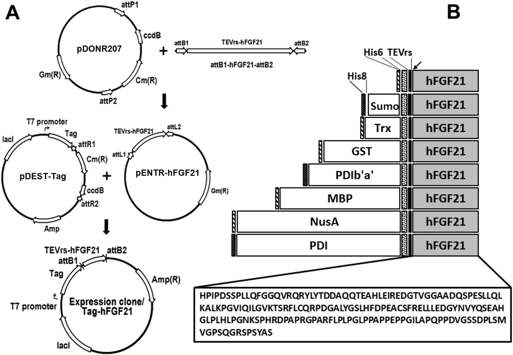 Prokaryotic soluble expression and purification of bioactive human ...
