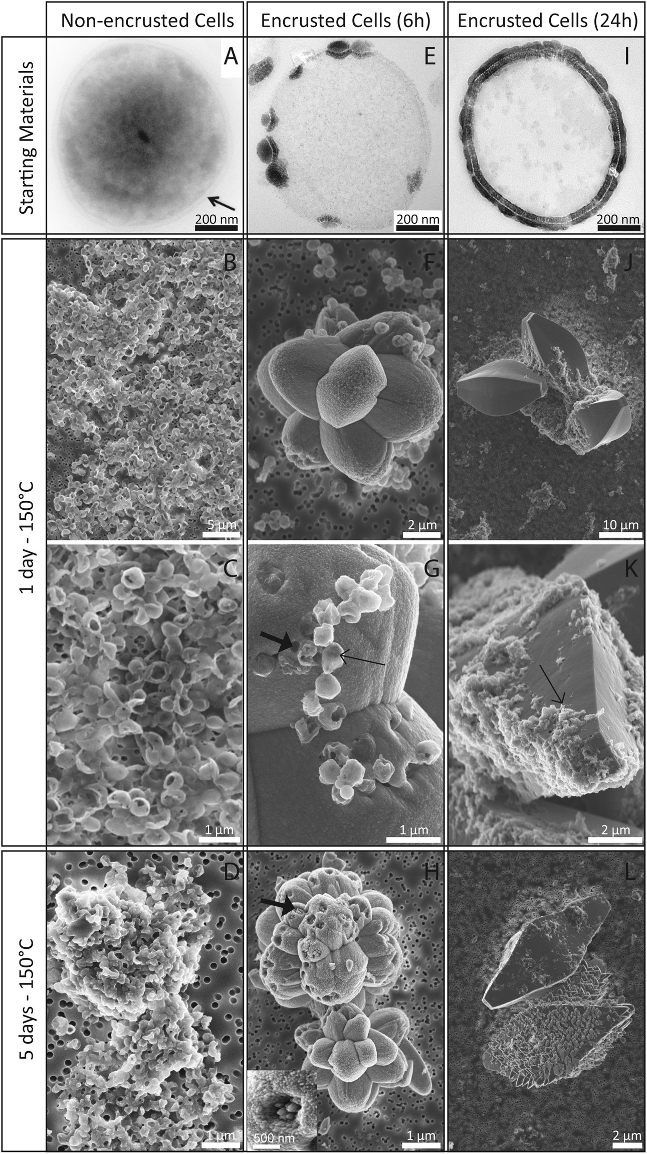 Experimental maturation of archaea encrusted by fe phosphates experimental maturation of archaea encrusted by fe phosphates scientific reports mightylinksfo
