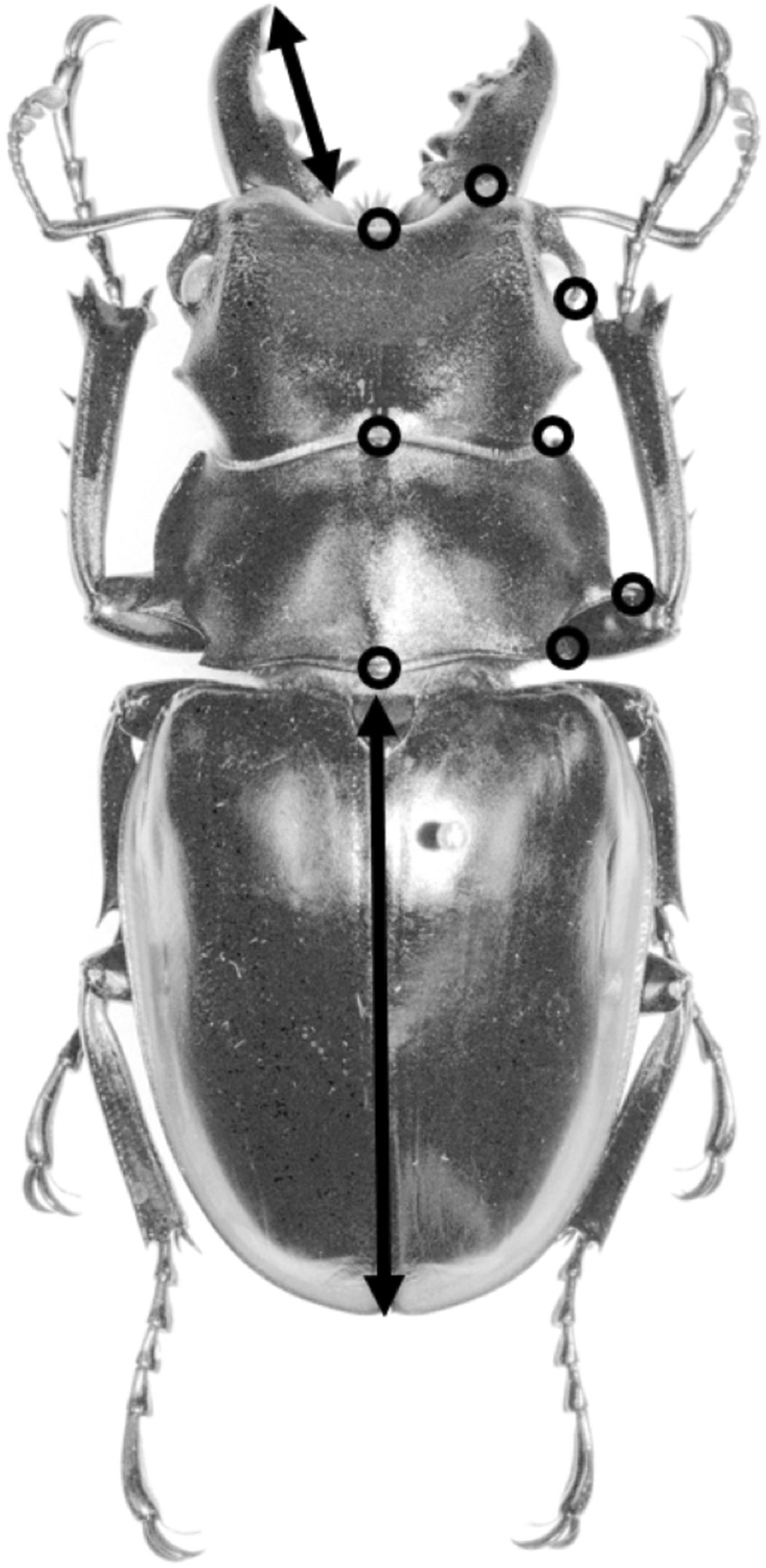 Diverse and complex male polymorphisms in Odontolabis stag beetles ...