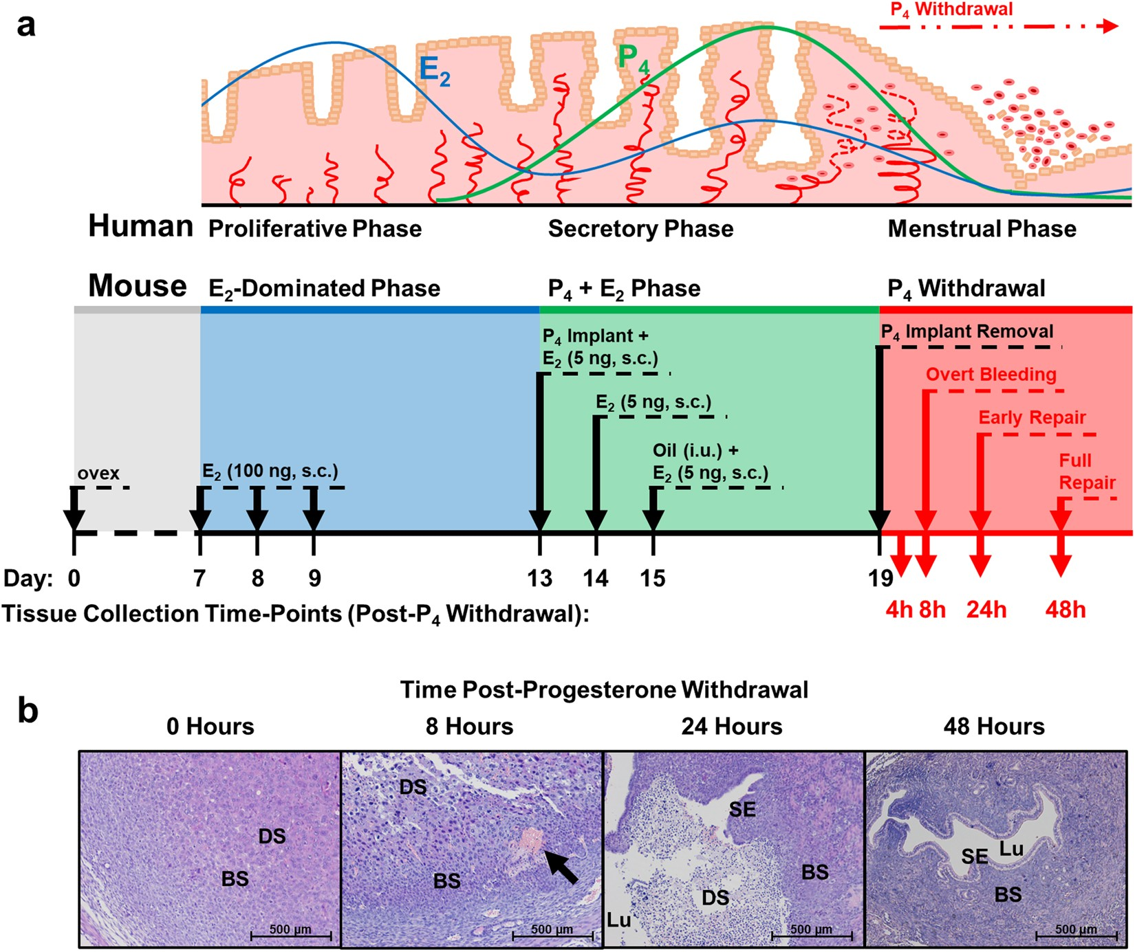 Endometrial apoptosis and neutrophil infiltration during menstruation exhibits spatial and temporal dynamics that are recapitulated in a mouse model