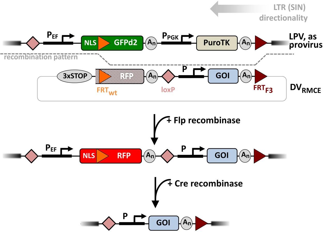 Site-specific chromosomal gene insertion: Flp recombinase versus