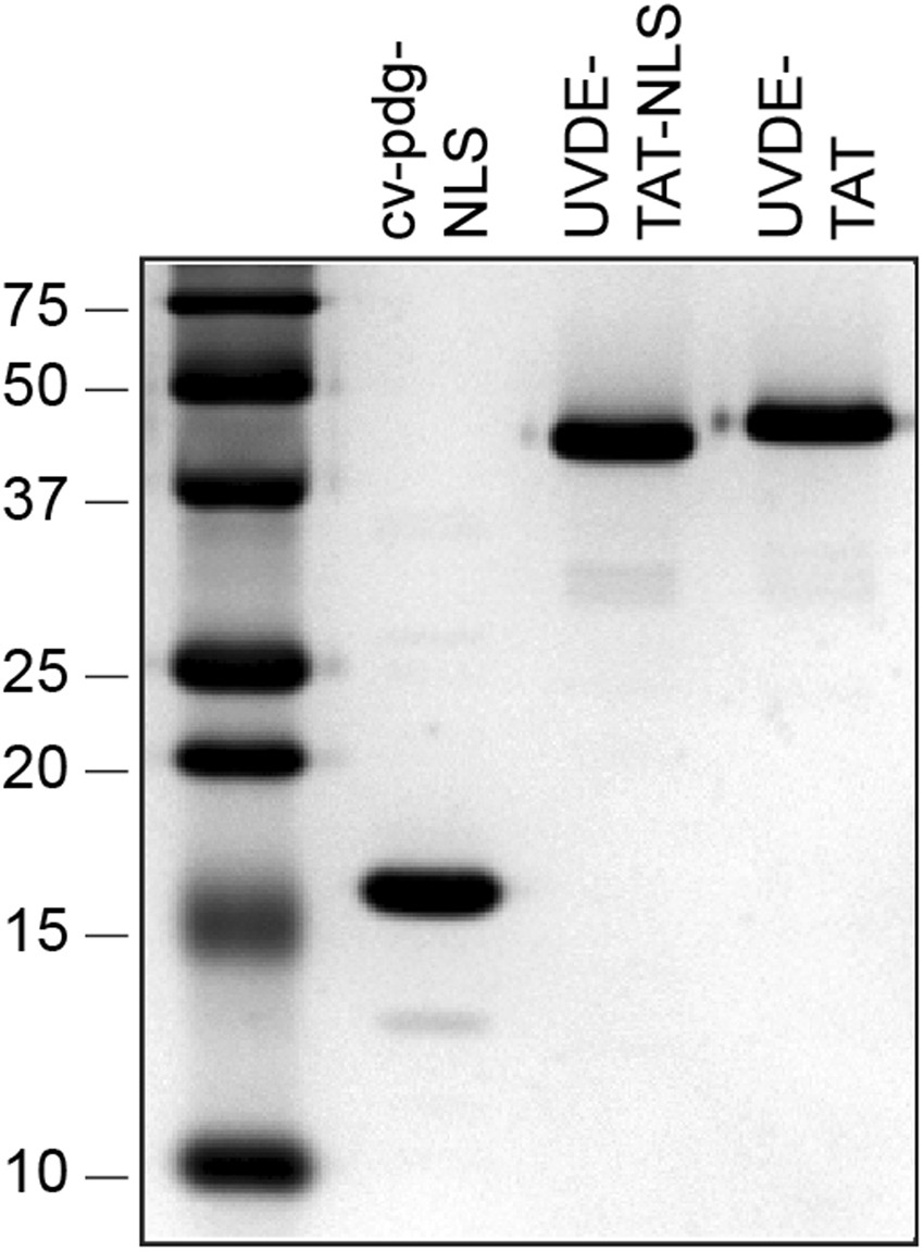 Modulation of UVB-induced Carcinogenesis by Activation of ...