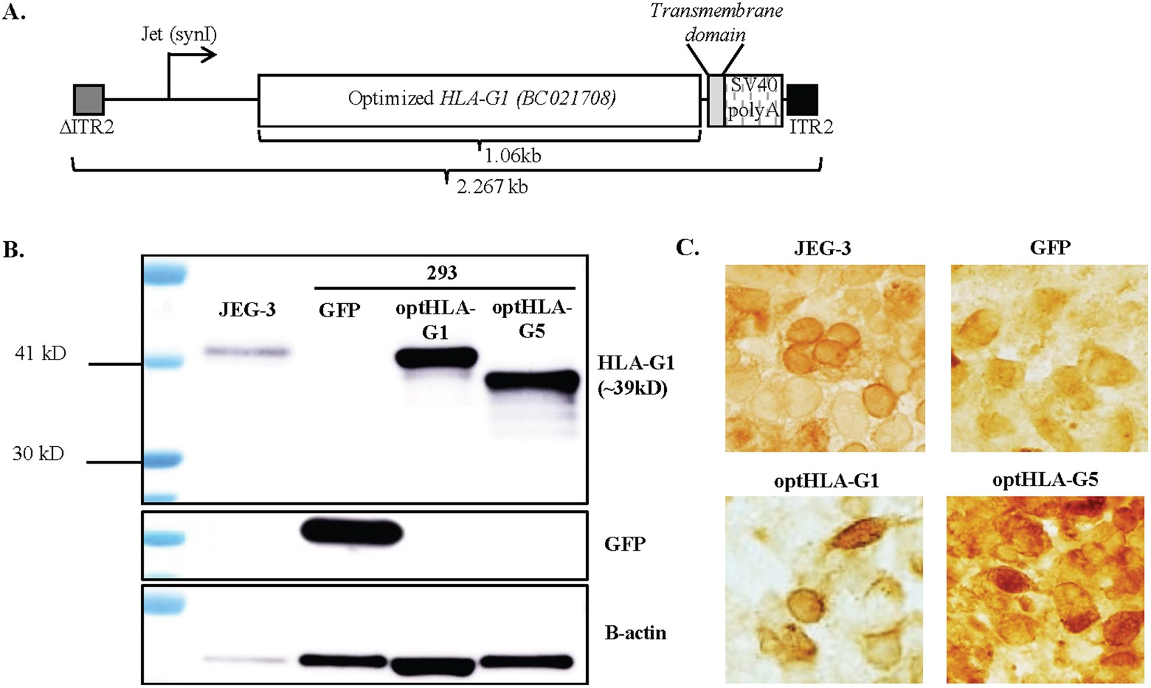 AAV vector-meditated expression of HLA-G reduces injury-induced ...