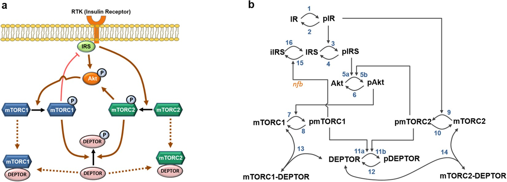 Dynamic Modelling Of The Mtor Signalling Network Reveals Complex Simplified And Gate Shown Above Has Two Inputs Switch A Emergent Behaviours Conferred By Deptor Scientific Reports