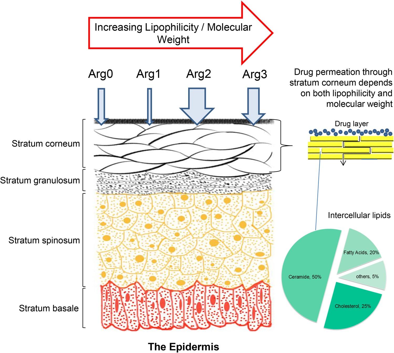 Enhanced Skin Permeation of Anti-wrinkle Peptides via