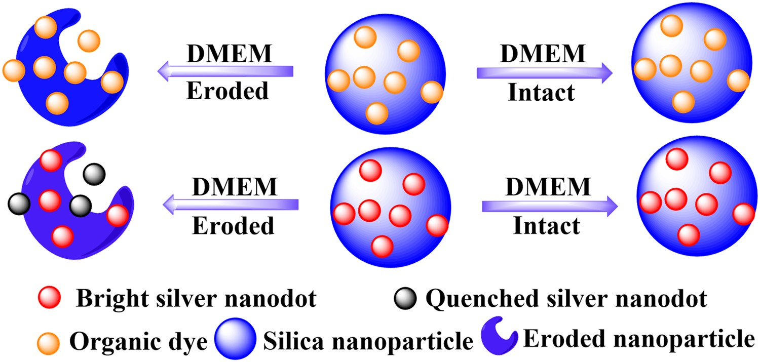 Silica nanoparticle stability in biological media revisited