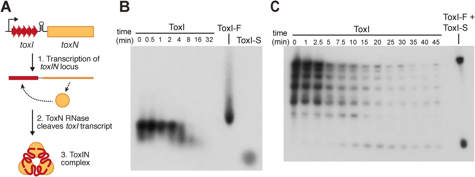The Bacterial Type Iii Toxin Antitoxin System Is A Dynamic Diagram Furthermore Mini Tennis Court Dimensions Of Protein Rna Complex With Stability Dependent Antiviral Abortive Infection Activity