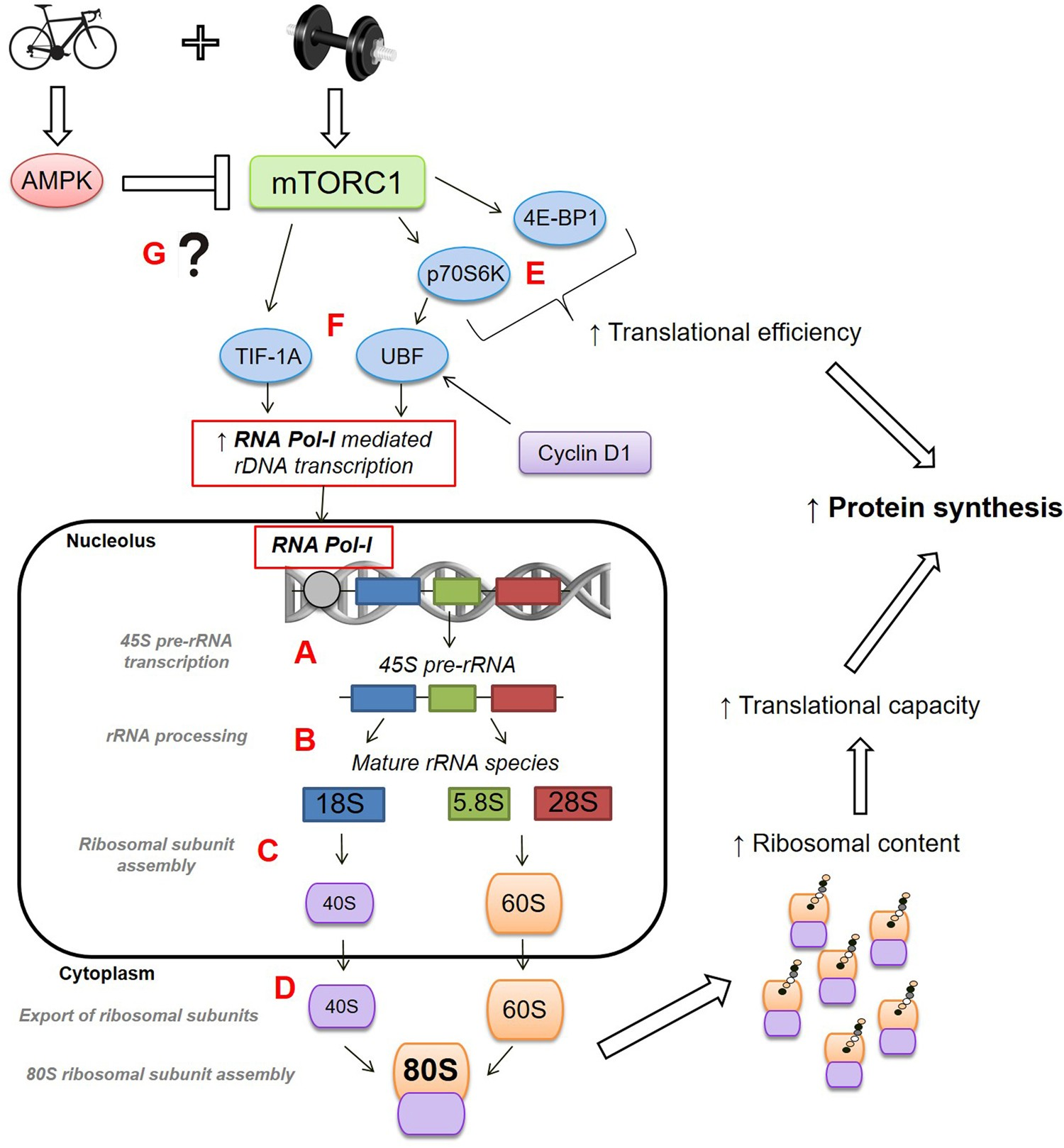Enhanced Skeletal Muscle Ribosome Biogenesis Yet Attenuated Mtorc1 Lt Pro Dual Function Dark 02r 14 Gr And Related Signalling Following Short Term Concurrent Versus