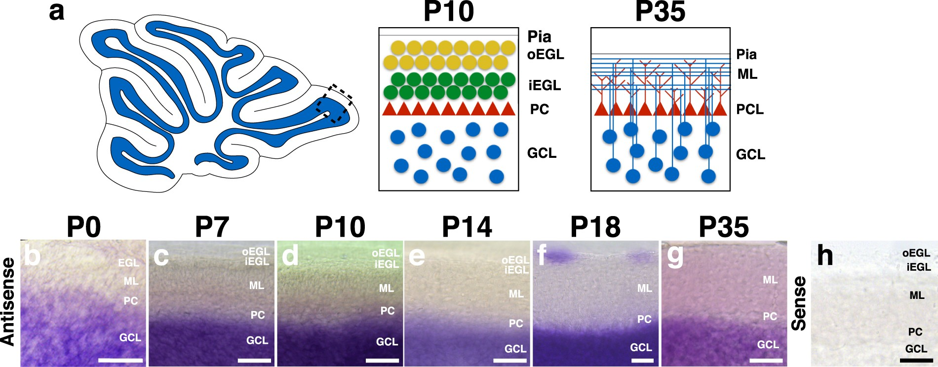 The Racgap Chimaerin Is Essential For Cerebellar Granule Cell Figure 2 Basic Structure Of Neuronal Circuitry In Cerebellum Migration Scientific Reports