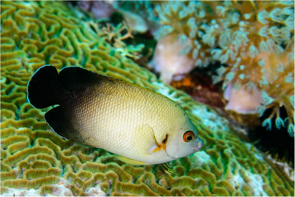 Whole Genome Assembly Of The Coral Reef Pearlscale Pygmy Angelfish Centropyge Vrolikii
