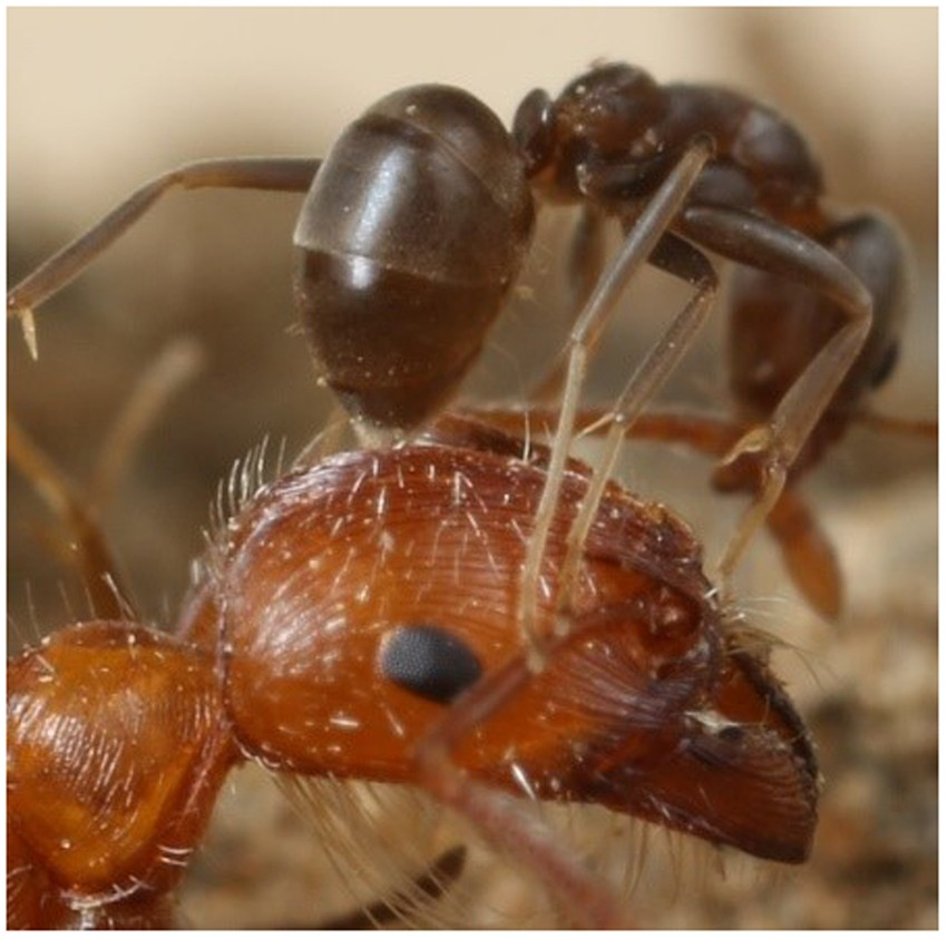 Verification Of Argentine Ant Defensive Compounds And Their