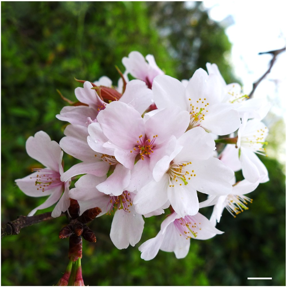 A Nanosuit Successfully Protects Petals Of Cherry Blossoms In High