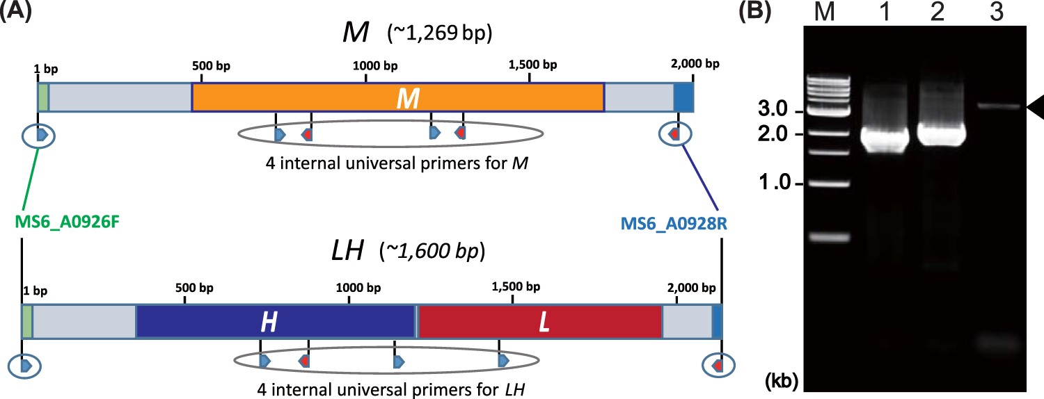 Vibrio Cholerae Embraces Two Major Evolutionary Traits As Revealed This Ladder Diagram Arrangement May Be Easily Coded Shown In The By Targeted Gene Sequencing Scientific Reports