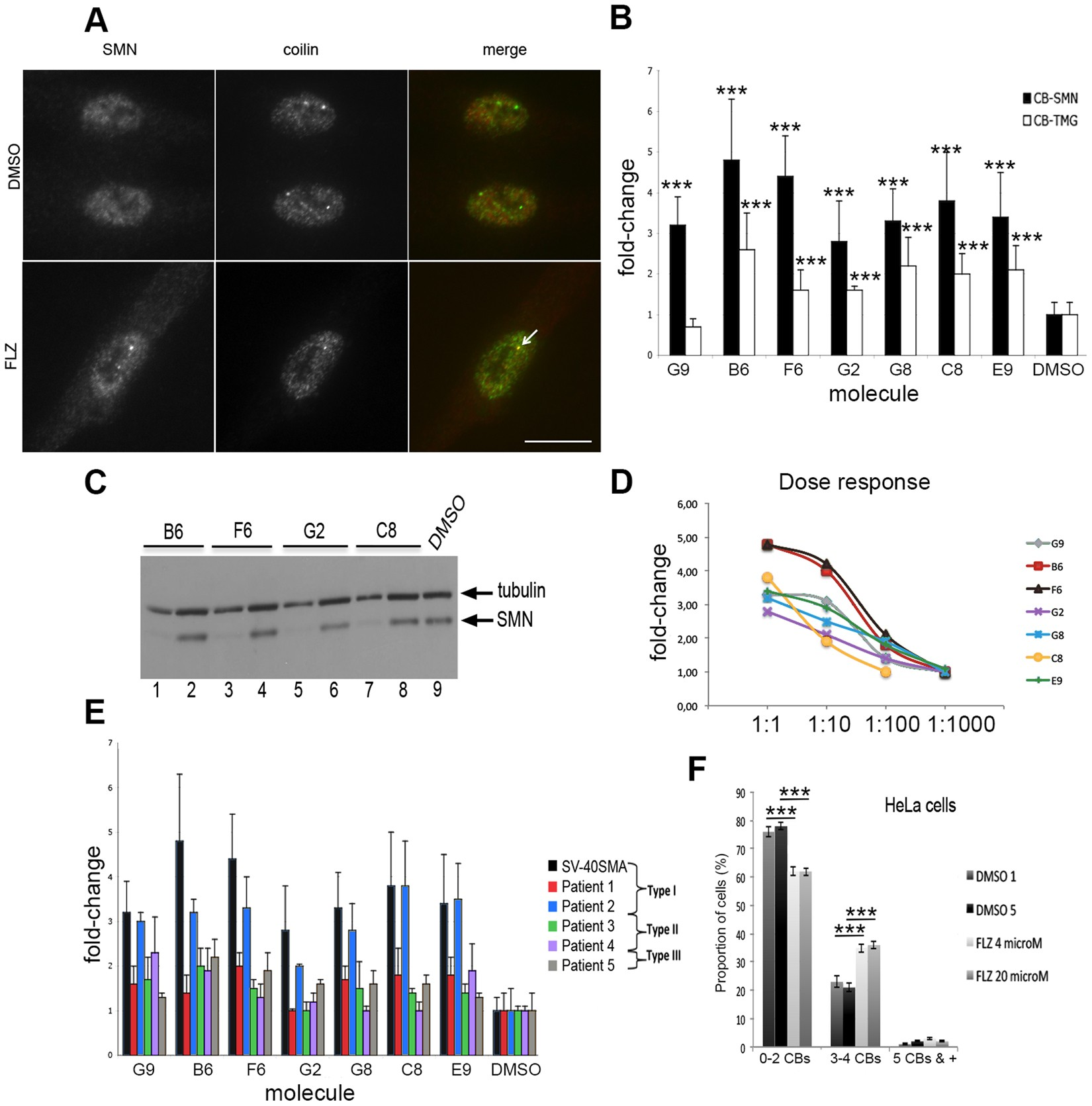 Small Molecule Flunarizine Increases Smn Protein In Nuclear Cajal Counter Using 7 Segment Display Public Circuit Online Bodies And Motor Function A Mouse Model Of Spinal Muscular Atrophy Scientific Reports