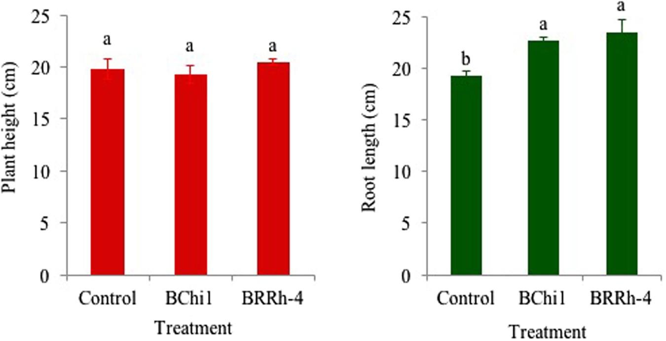 Plant probiotic bacteria Bacillus and Paraburkholderia
