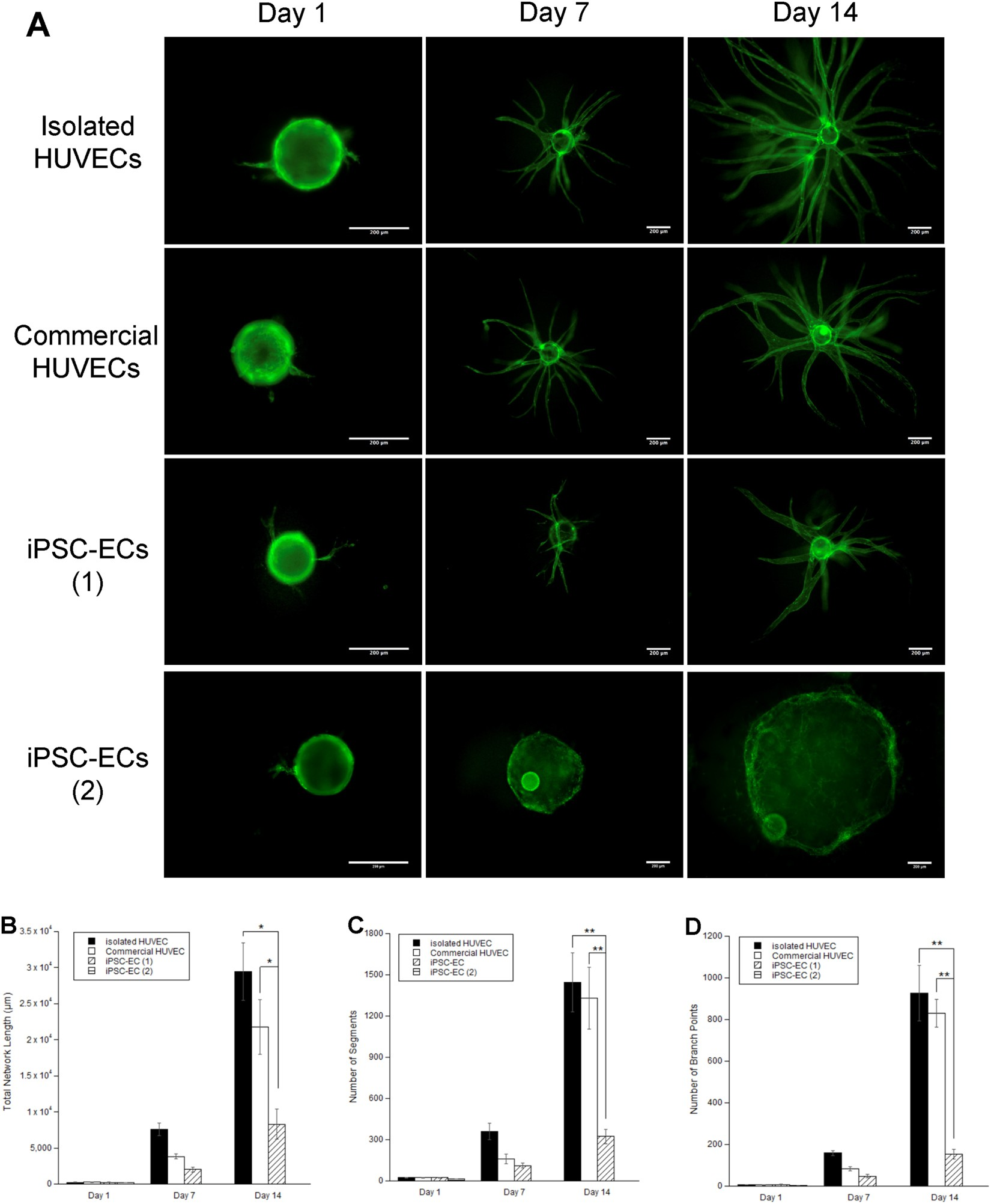 Evaluating The Potential Of Endothelial Cells Derived From Human