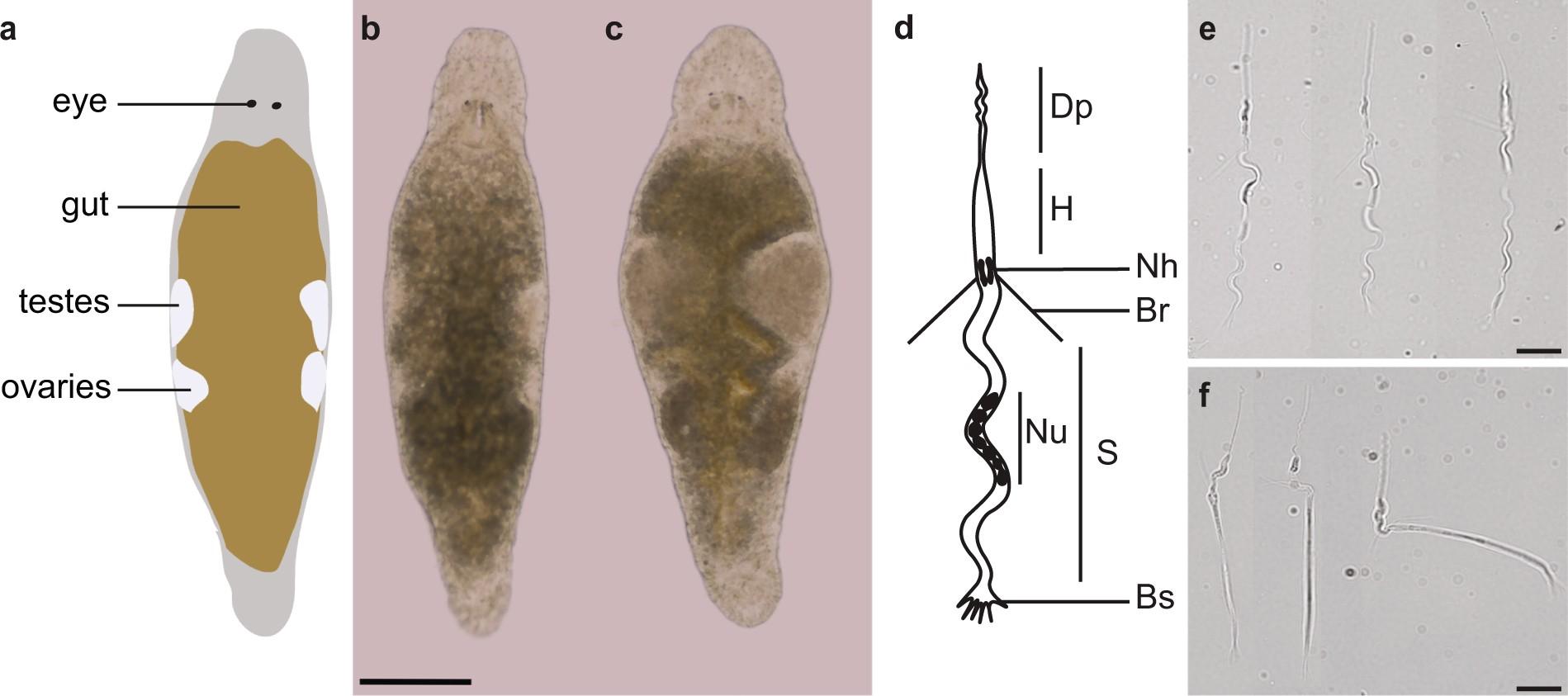 A Novel Flatworm Specific Gene Implicated In Reproduction Net Circuitdiagram Tda0161metaldetectorcircuitdiagram3192html Macrostomum Lignano Scientific Reports