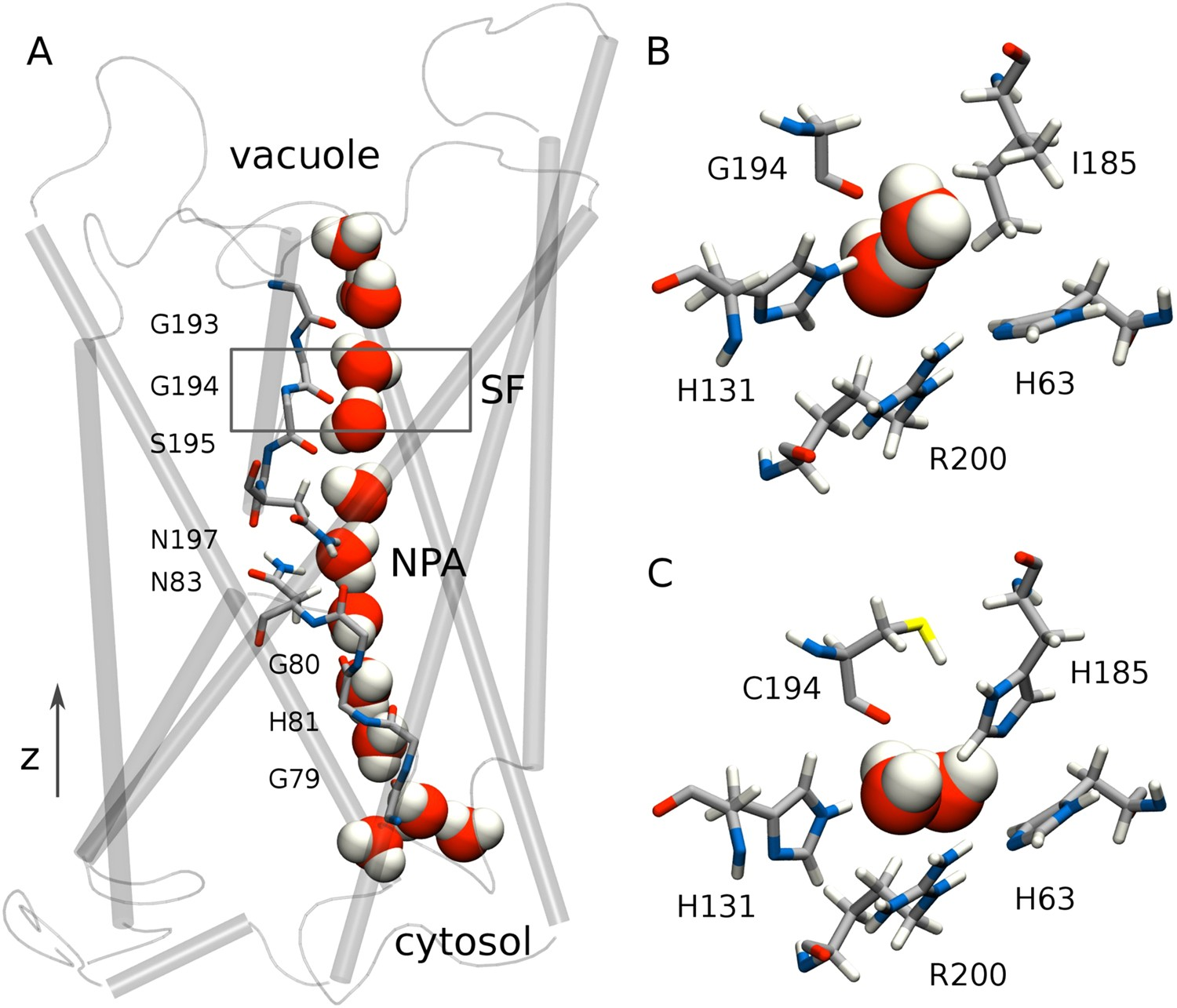 Permeability and ammonia selectivity in aquaporin TIP2