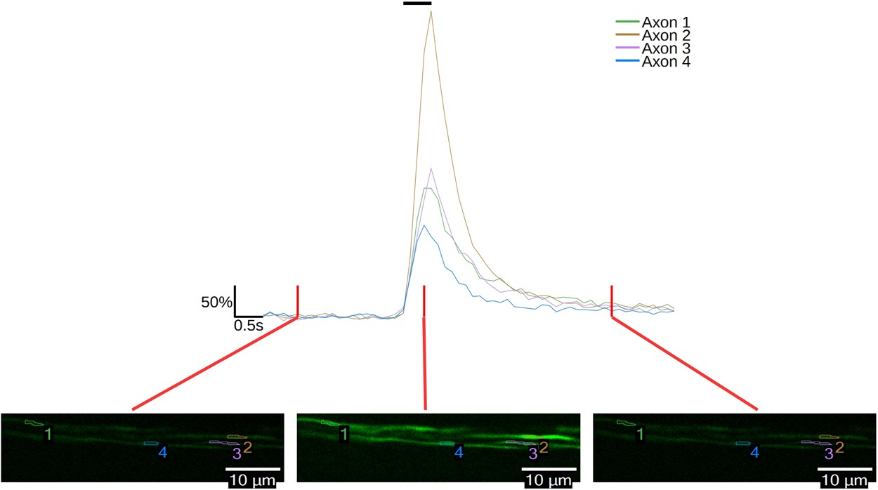 Imaging Of Electrical Activity In Small Diameter Fibers The Wiring Diagram For Jackson Ps 1 Murine Peripheral Nerve With Virally Delivered Gcamp6f Scientific Reports