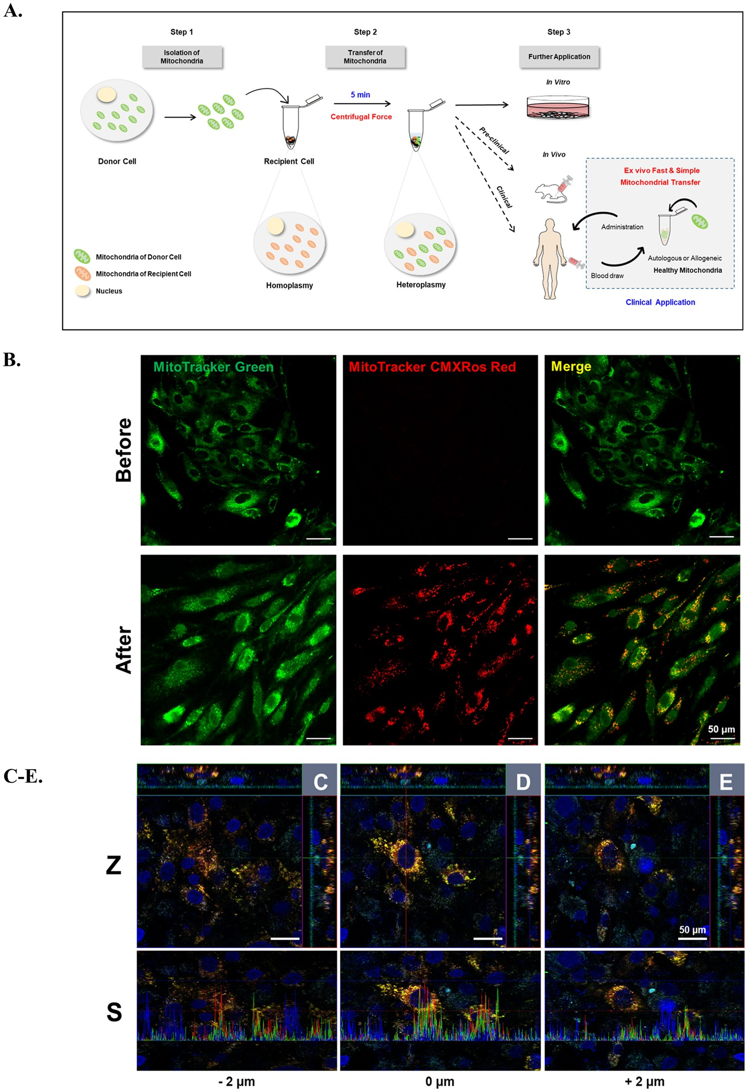 Delivery Of Exogenous Mitochondria Via Centrifugation Enhances