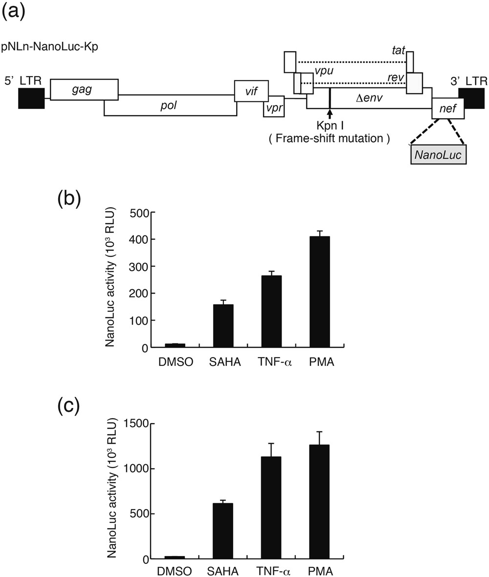 BI-2536 and BI-6727, dual Polo-like kinase/bromodomain inhibitors