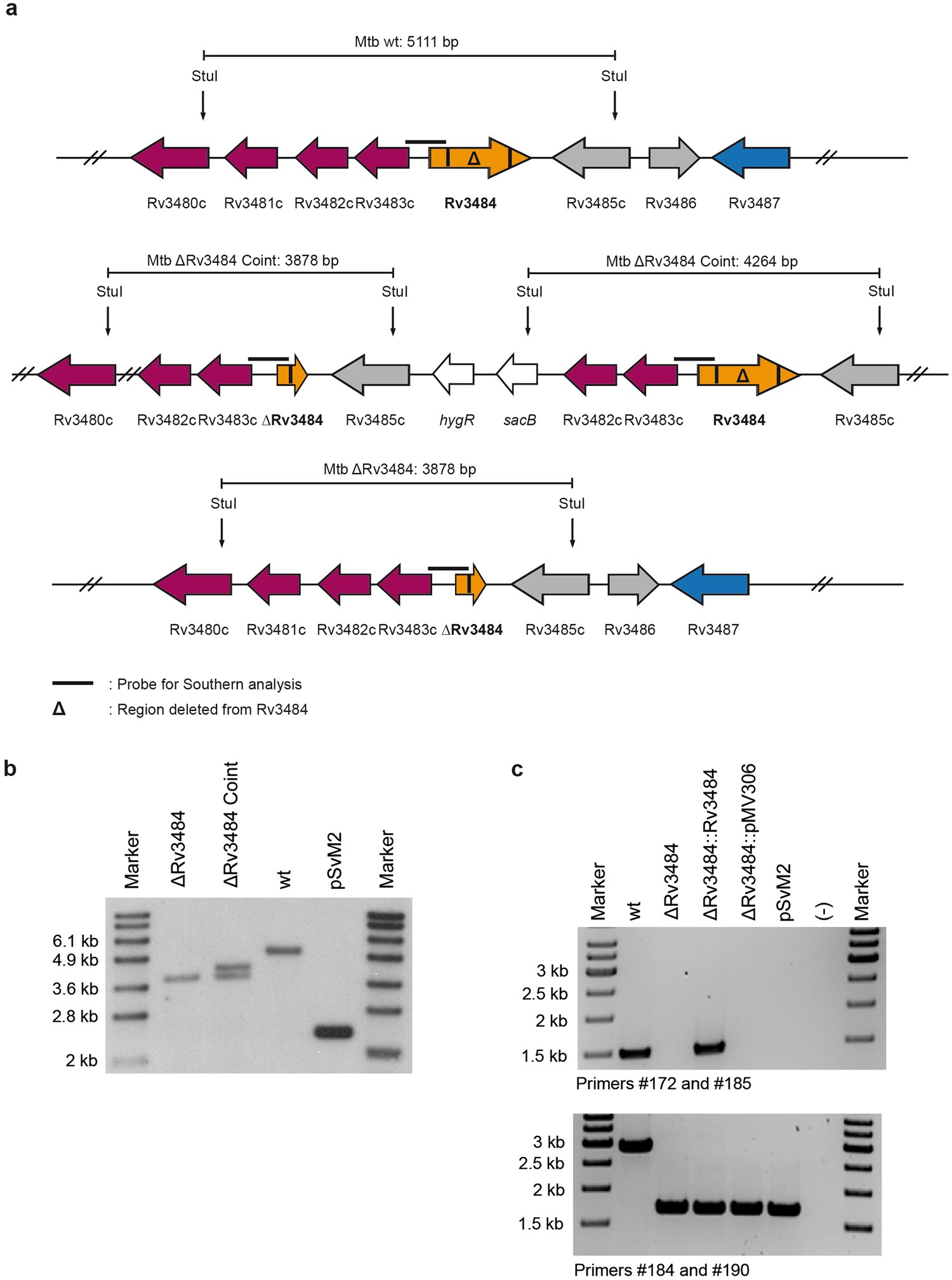 In Vivo Virulence Of Mycobacterium Tuberculosis Depends On A Single Envelope Detector One Circuit Week Homologue The Lytr Cpsa Psr Proteins Scientific Reports
