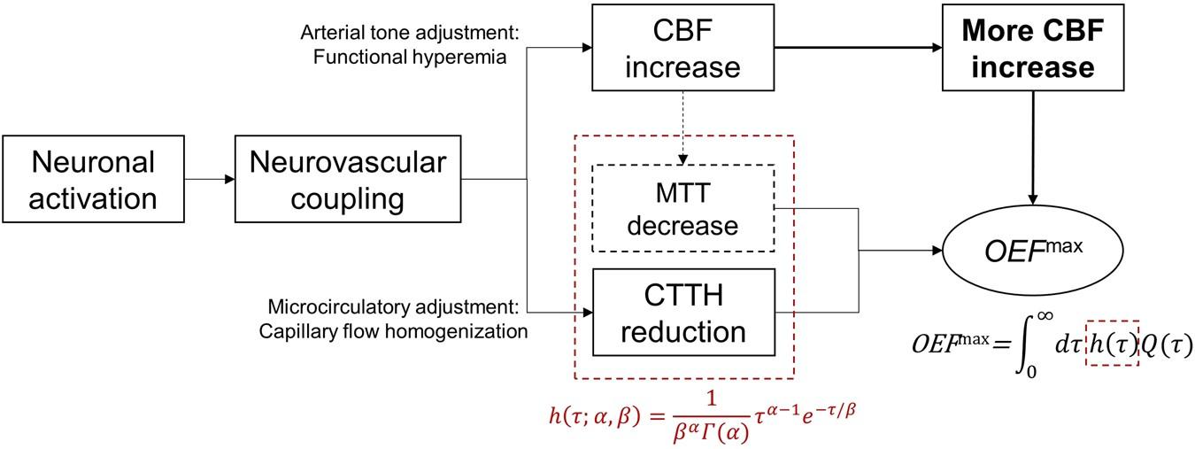 Capillary Flow Homogenization During Functional Activation Revealed