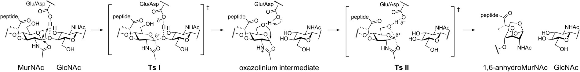 Mechanism of the Escherichia coli MltE lytic