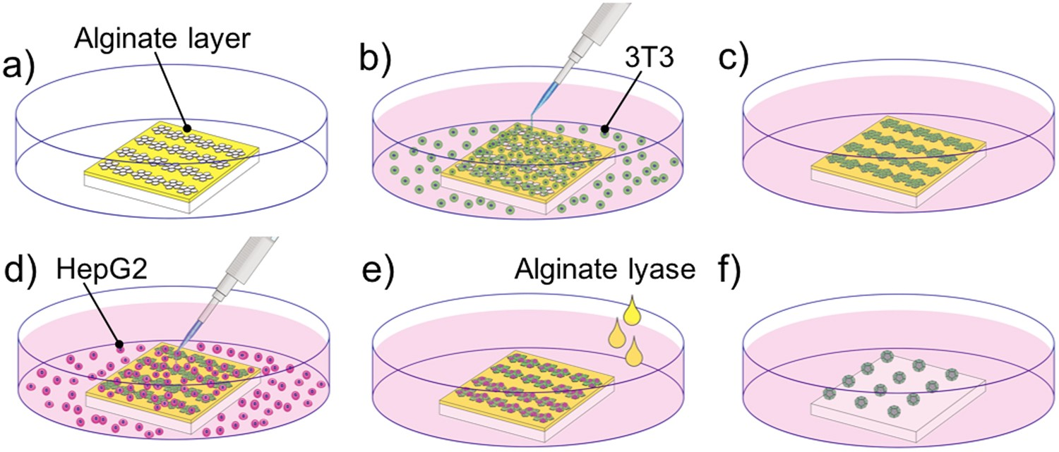 Origami-based self-folding of co-cultured NIH/3T3 and HepG2 cells