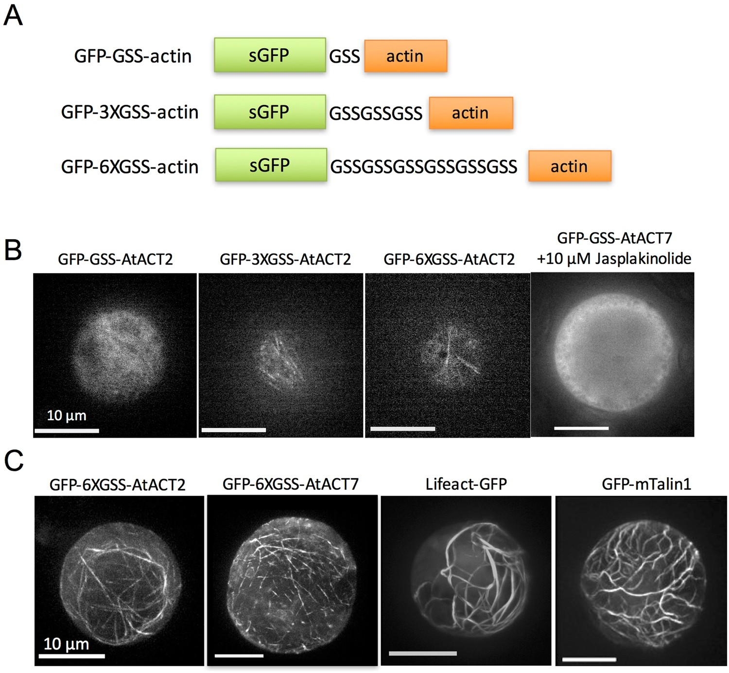 Arabidopsis vegetative actin isoforms, AtACT2 and AtACT7, generate