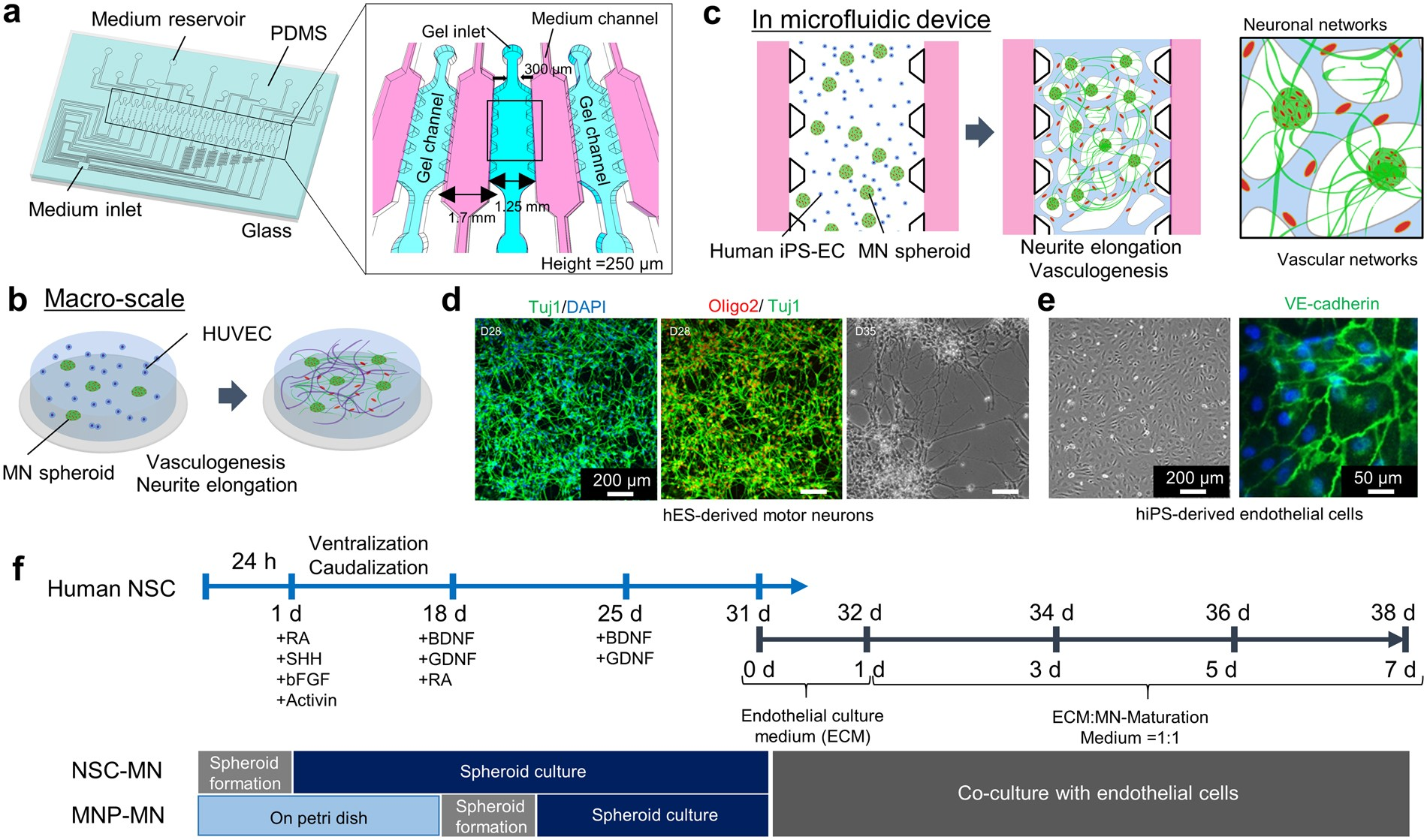 Engineered 3D vascular and neuronal networks in a