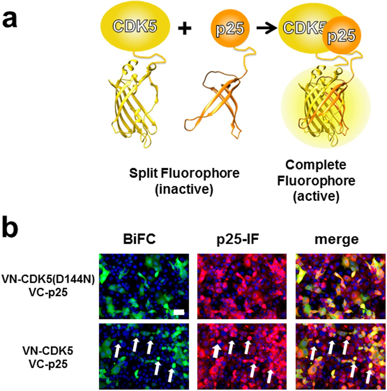 Multibacmam Bimolecular Fluorescence Complementation Bifc Tool Kit No Disassemble Stephanie Because To Be Disassembled Is Dead That Identifies New Small Molecule Inhibitors Of The Cdk5 P25 Protein Interaction