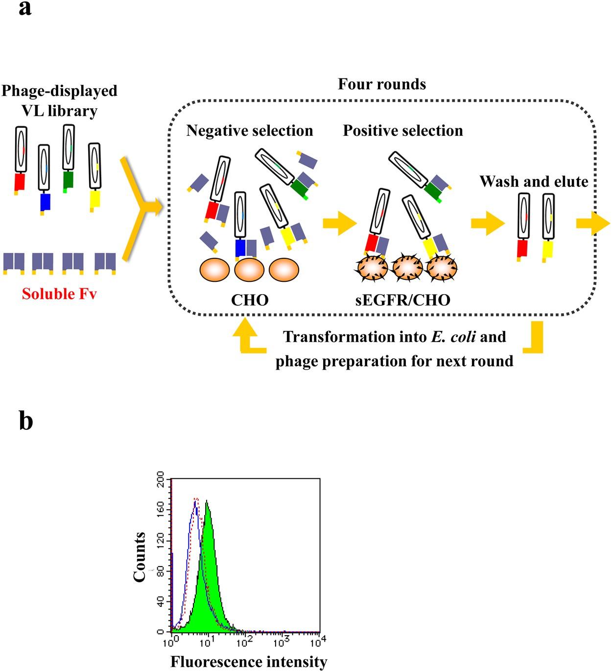 Affinity maturation of humanized anti-epidermal growth