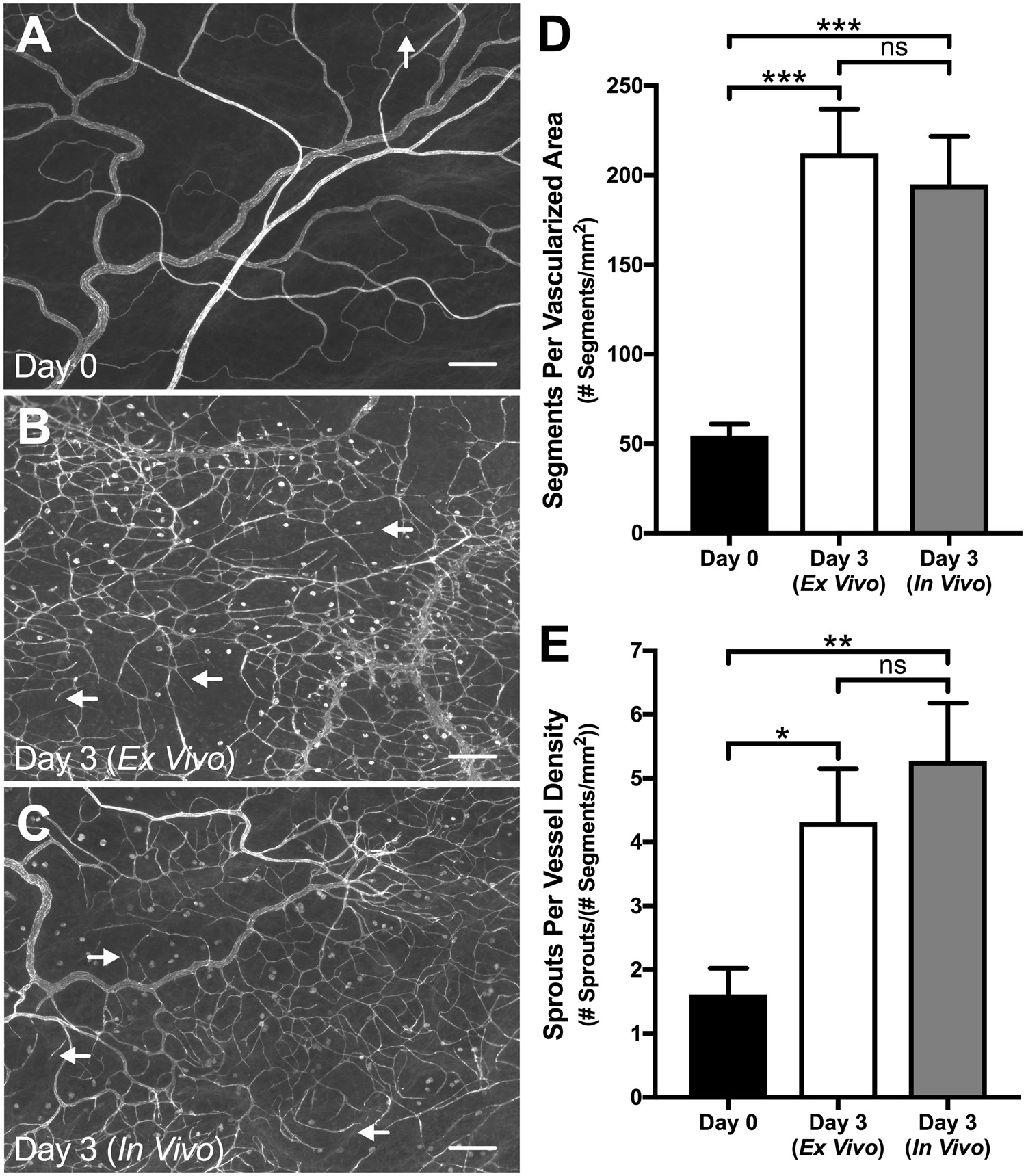 Endothelial Cell Phenotypes are Maintained During