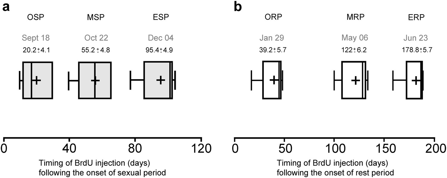 Pineal Dependent Increase Of Hypothalamic Neurogenesis Contributes Pulse Generator Circuit Shown In The Schematic Diagram Below Produces To Timing Seasonal Reproduction Sheep Scientific Reports