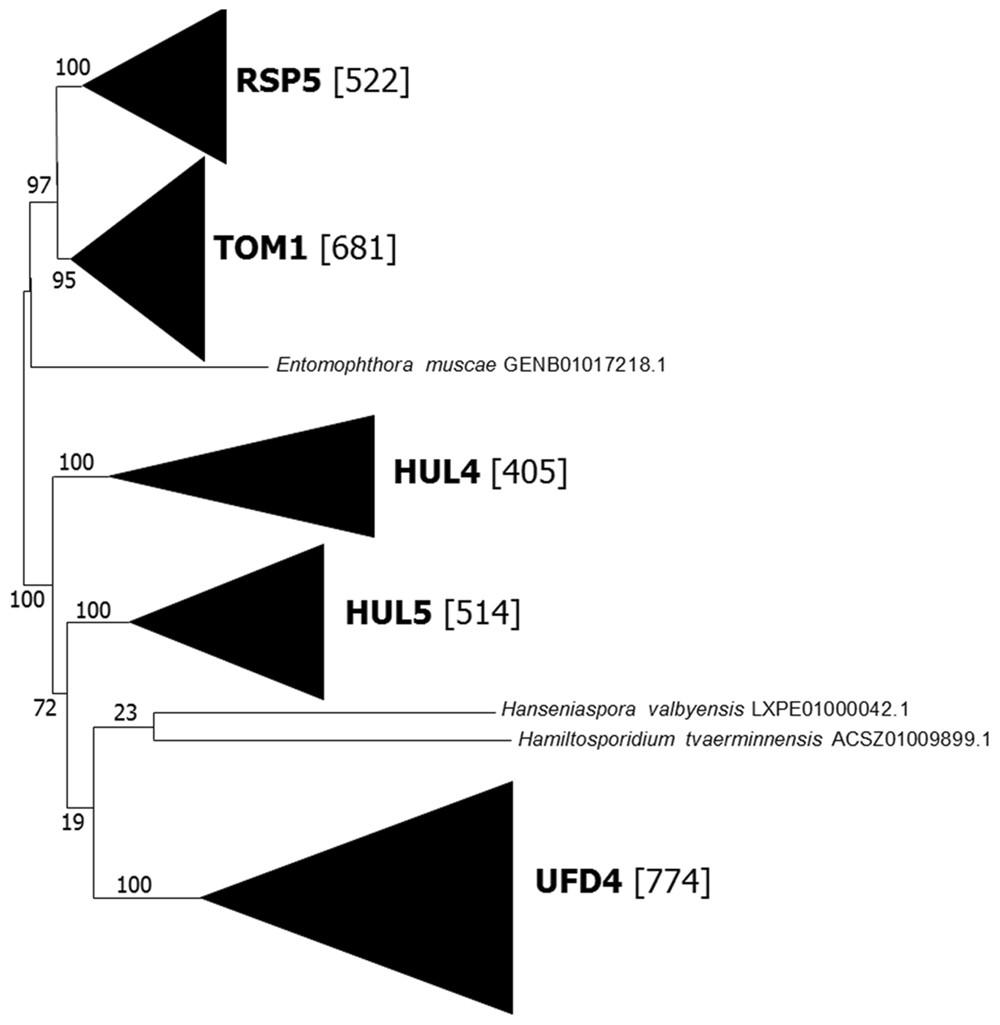 Origin and evolution of fungal HECT ubiquitin ligases