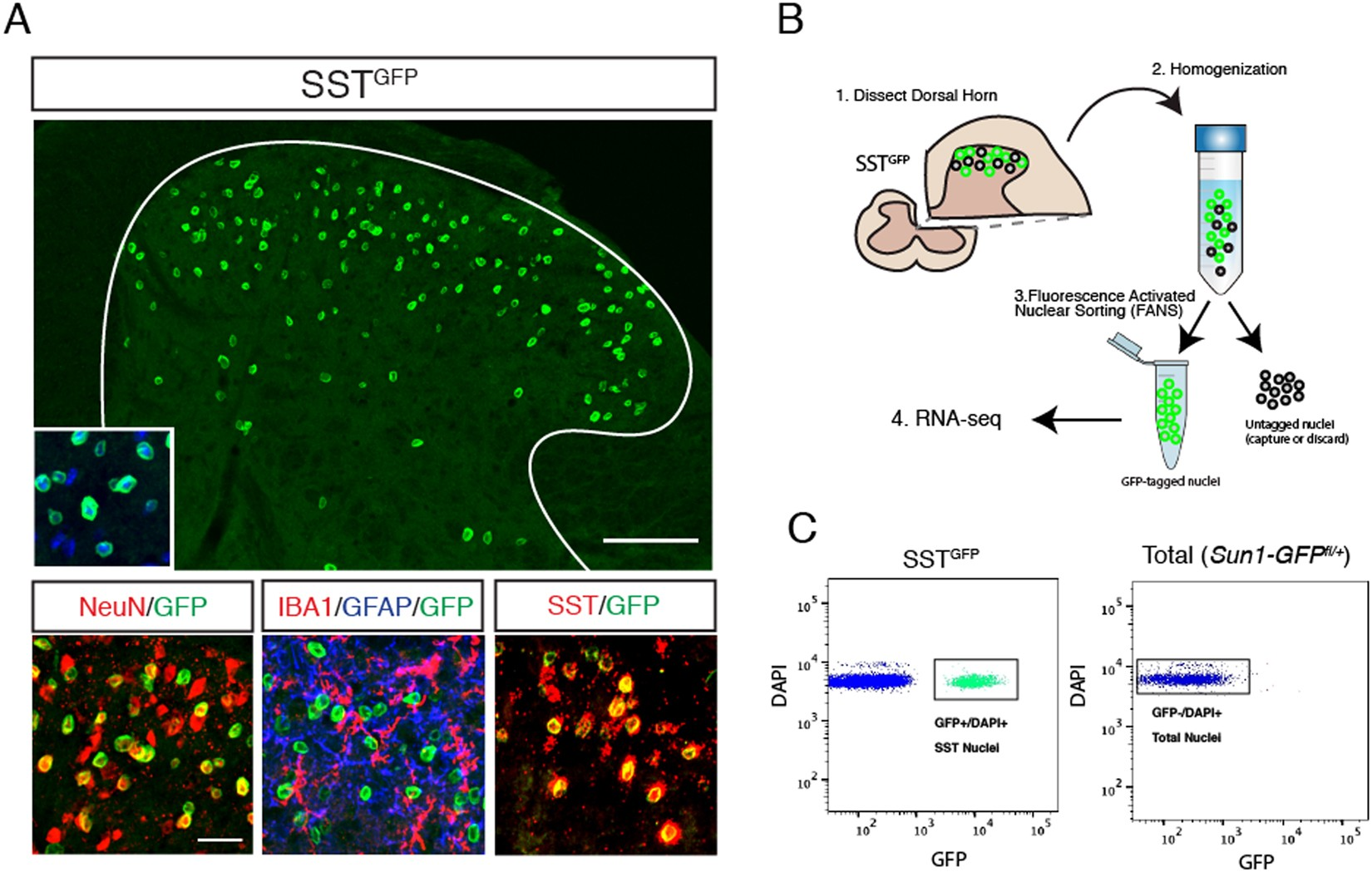 Transcriptional Profiling Of Somatostatin Interneurons In The Spinal This Circuit Produces A Voltage Proportional To Current And Isolates Dorsal Horn Scientific Reports