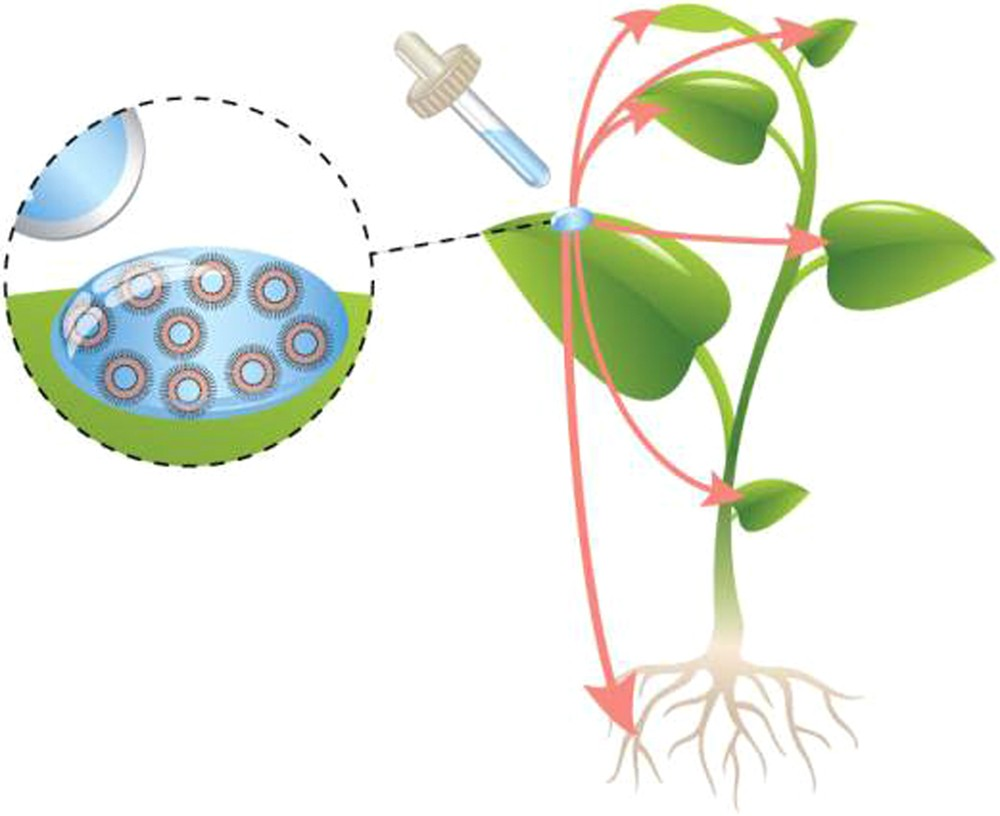Therapeutic Nanoparticles Penetrate Leaves And Deliver Nutrients To Slide Plant Cell Diagram 1 2 Agricultural Crops Scientific Reports