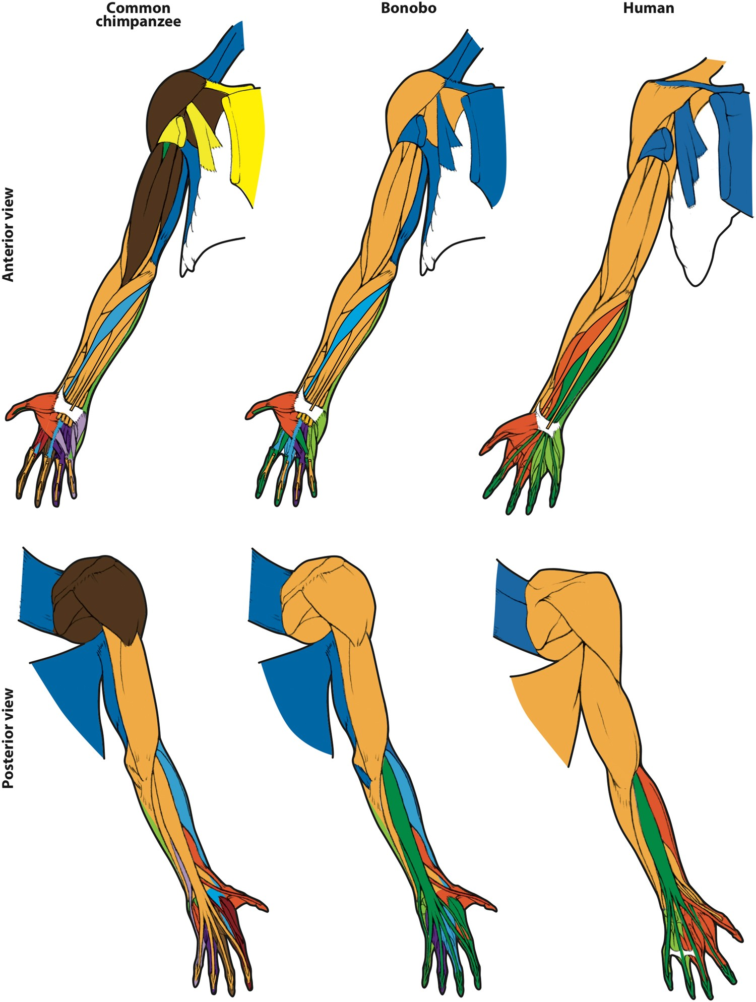 First anatomical network analysis of fore- and hindlimb ...