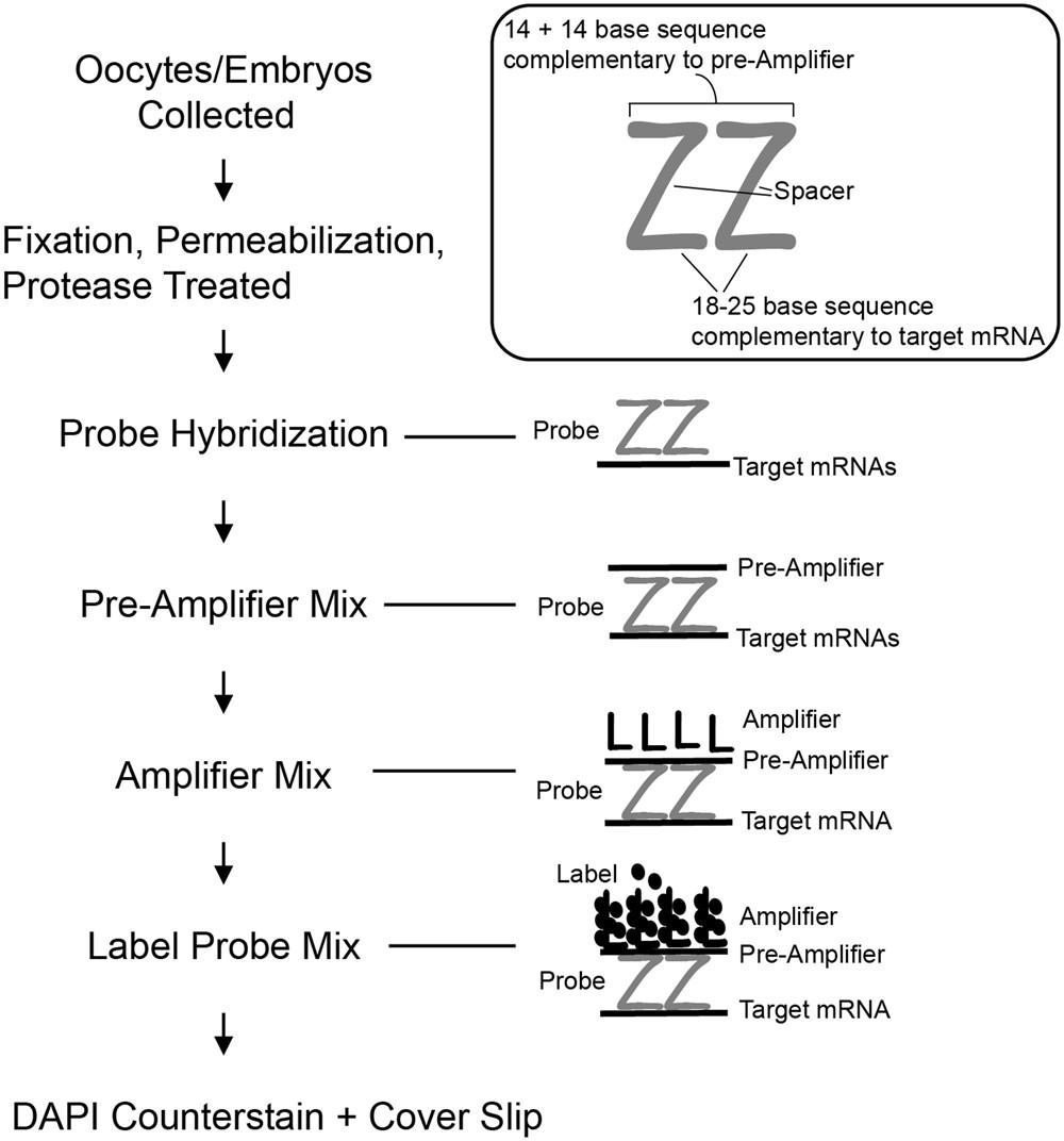 Using Single Molecule mRNA Fluorescent in Situ Hybridization (RNA