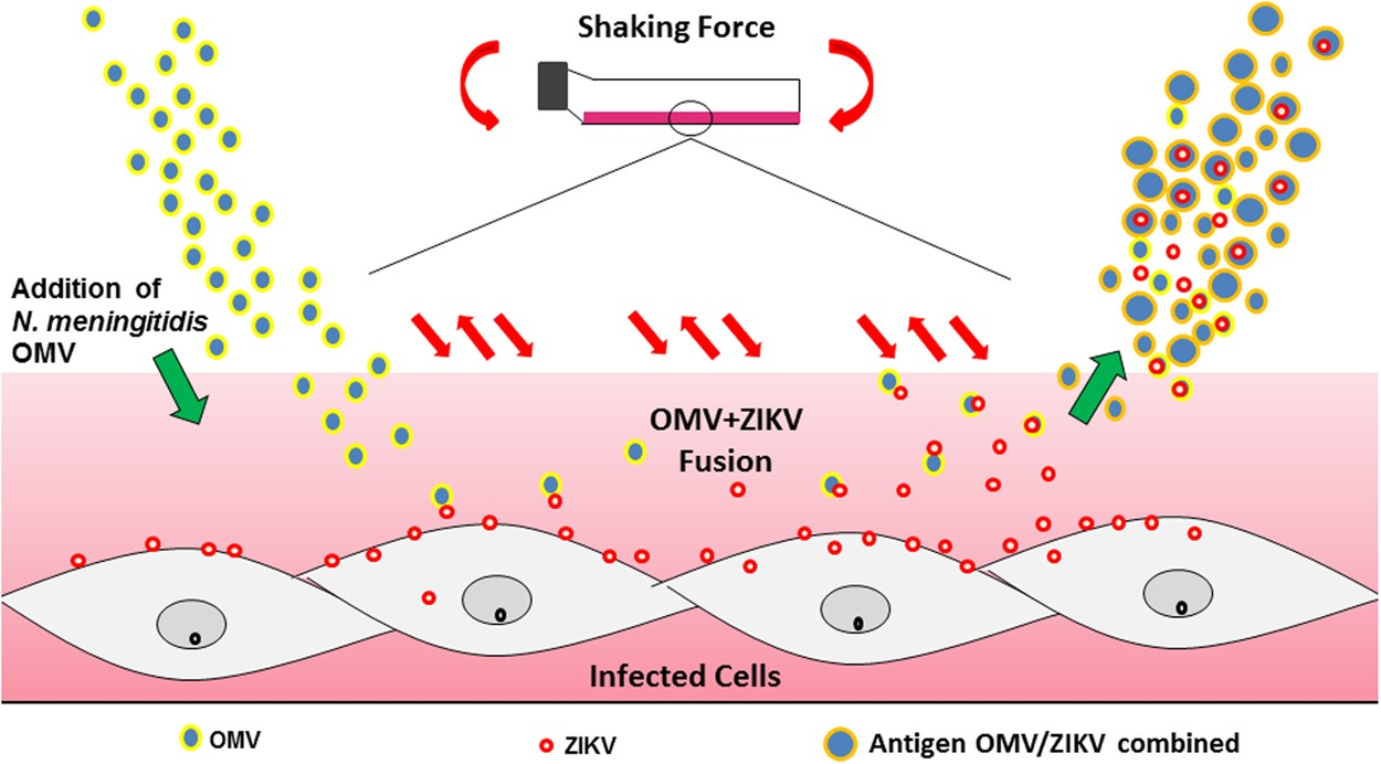 Outer Membrane Vesicles From Neisseria Meningitidis Proteossome Addition Of Forces Used For Nanostructured Zika Virus Vaccine Production Scientific Reports