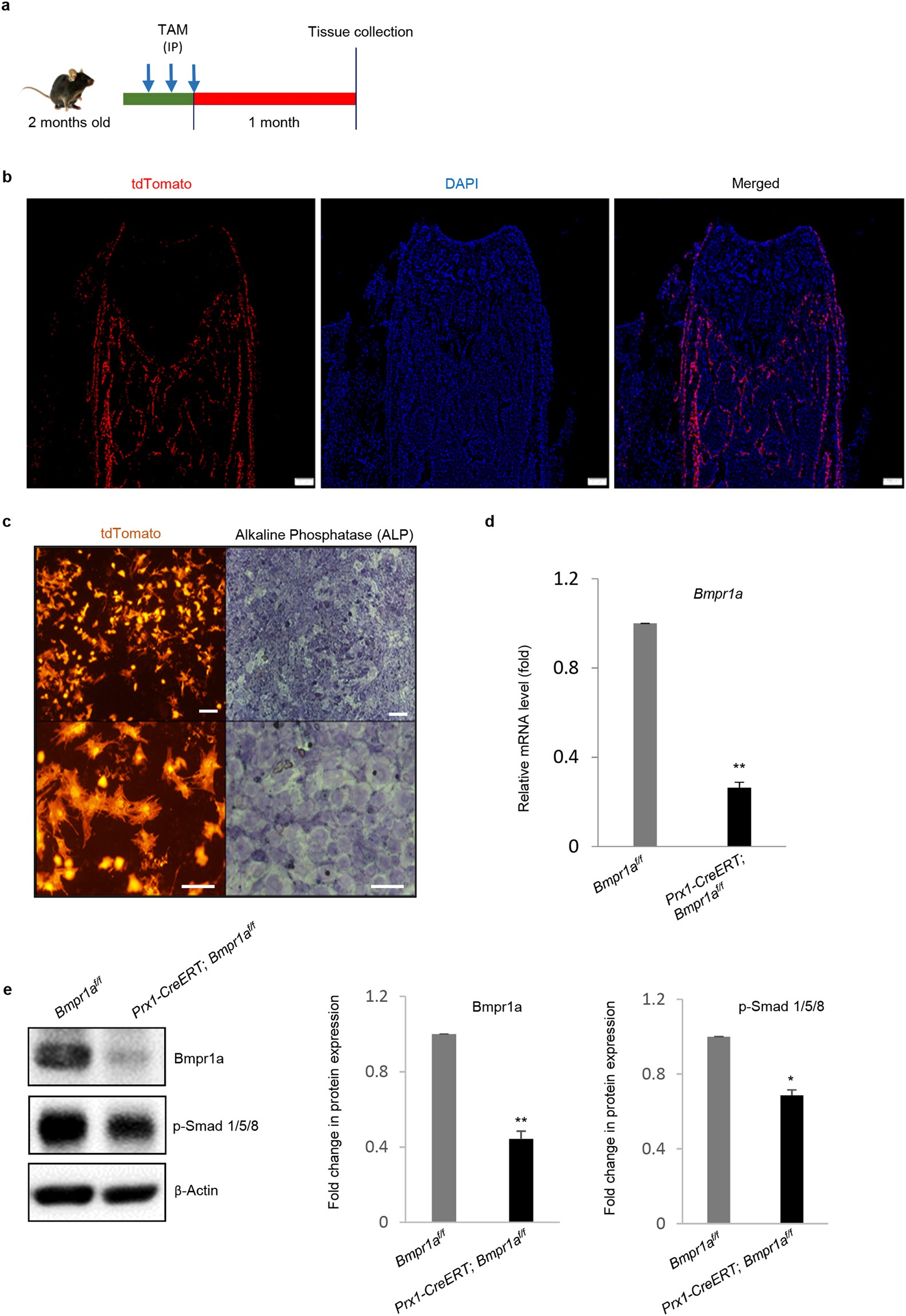 BMPRIA is required for osteogenic differentiation and RANKL