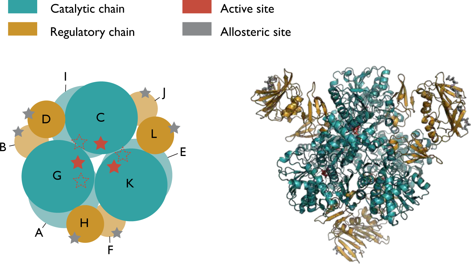Allostery and cooperativity in multimeric proteins: bond-to-bond ...