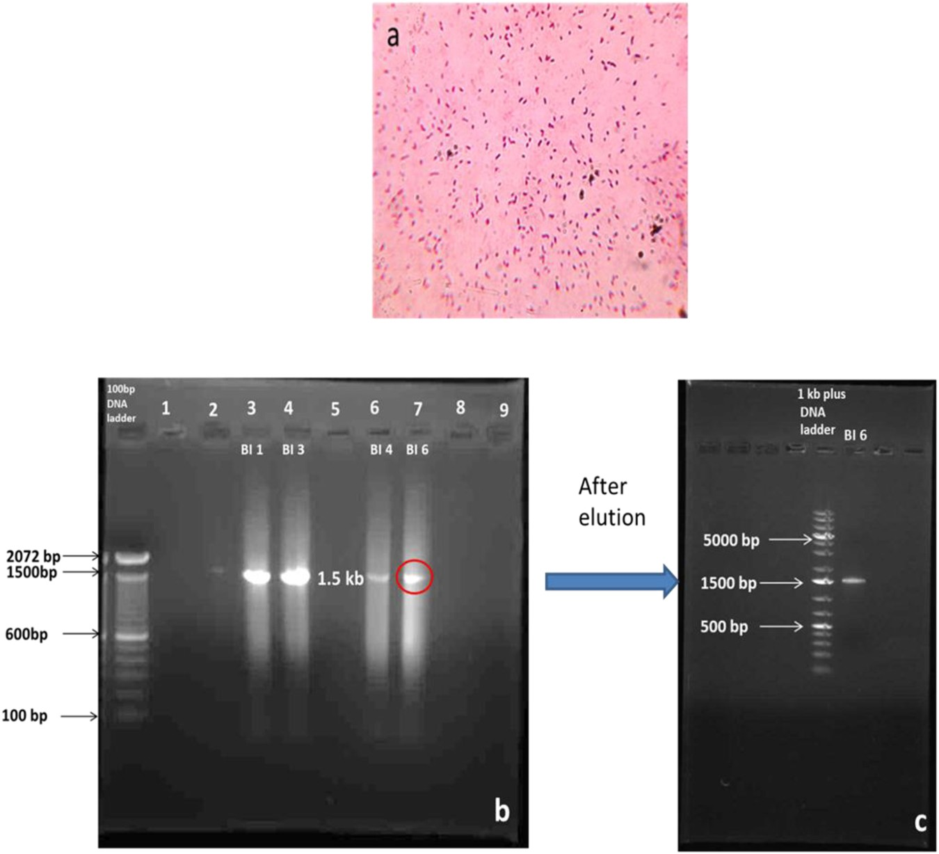Potential Application Of Saccharomyces Cerevisiae And Rhizobium Measurement Electrical Quantities With A Cro Immobilized In Multi Walled Carbon Nanotubes To Adsorb Hexavalent Chromium Scientific